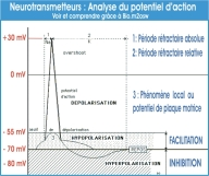 analyse_potentiel_action_neurotransmetteurs